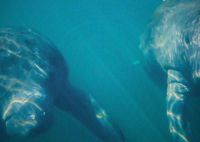 800-underwater-manatees