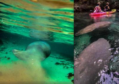manatees-kayaks