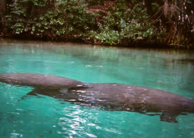 weeki-wachee-river-manatees