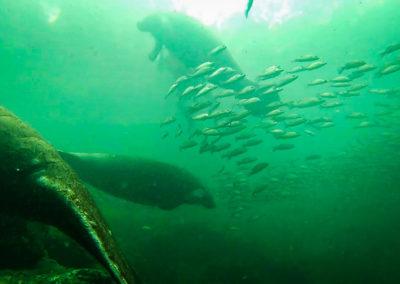 ww-underwater-manatees